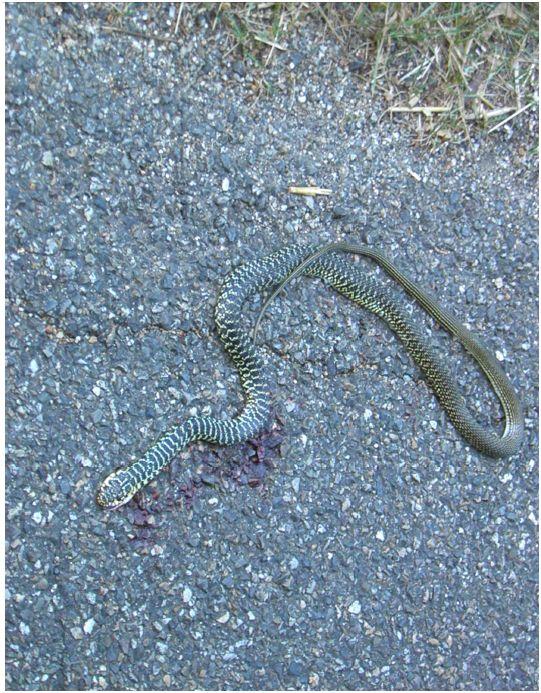 On ne va pas pleurer un serpent sur nos routes